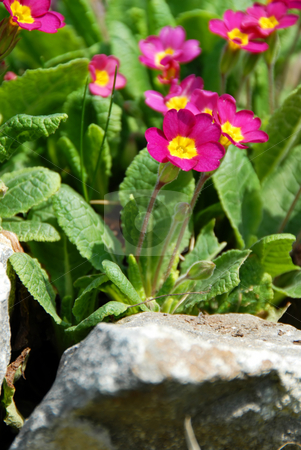 Spring flowers stock photo, Bunch of pink spring flowers growing on stone by Julija Sapic