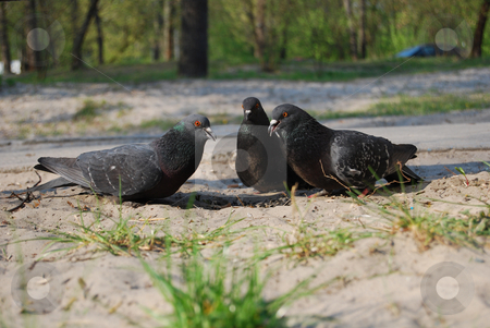 Doves  stock photo, Three doves pickining seeds on the ground by Leyla Akhundova