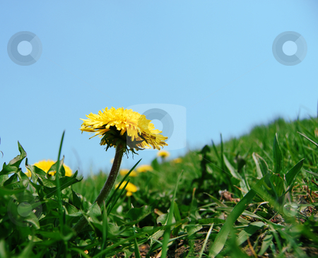 Dandelions in grass stock photo, Yellow flower of dandelion in blossom against horizon by Leyla Akhundova
