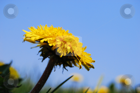 Close-up dandelion stock photo, Yellow flower of dandelion in blossom against sky background by Leyla Akhundova