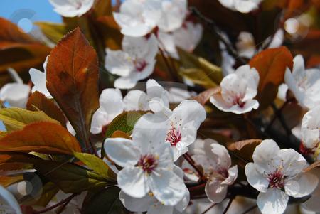 Paradise apple tree in blossom stock photo, White flowers of paradise apple tree by Leyla Akhundova