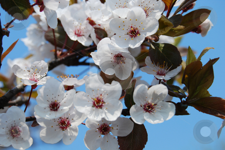 Paradise apple tree in blossom stock photo, White flowers of paradise apple tree by Leyla Akhundova