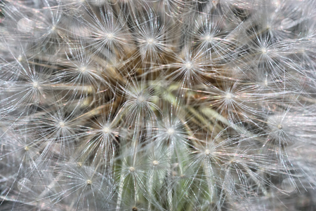 Dandelion stock photo, A close up of a head of a dandelion. by Ivan Paunovic
