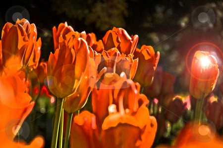 Abstract Orange Tulips stock photo, This is an abstract dramatic photo of brightly colored orange tulips with a sort of grunge look and extreme lighting. by Valerie Garner
