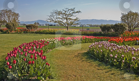 Curved Rows of Tulips stock photo, This beautiful springtime garden is stunning with its curved rows of mixed colored tulips.  Trees in the background and beautiful blue sky and mountains complete this gorgeous landscape. by Valerie Garner
