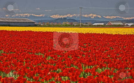 Gorgeous Fields of Tulips and Olympic Mountains stock photo, This is a stunning photo of massive fields of red and yellow tulips in Skagit Valley Washington, with a view of the Olympic mountains in the far distance. by Valerie Garner