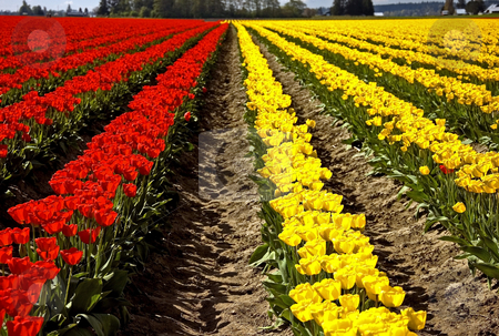 Rows of Red and Yellow Tulips stock photo, Closeup of rows of a huge field of red and yellow tulips as far as the eye can see, set in Skagit Valley Washington. by Valerie Garner