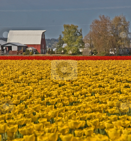 Huge Field of Yellow and Red Tulips Barn Background stock photo, Stunning huge field of yellow and red tulips with a farm and barn in the background, for a beautiful rural photo. by Valerie Garner