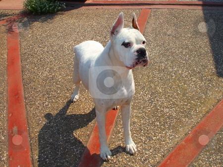 White Boxer Dog stock photo,  by Michael Felix