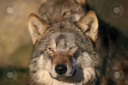 European wolf stock photo, Close up of an european gray wolf by Gea Strucks