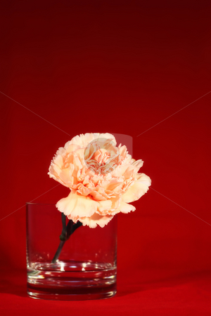 Carnation 1 stock photo,  by Tomo Photography