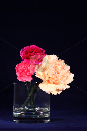 Carnation 2 stock photo,  by Tomo Photography