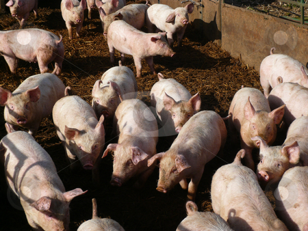 Piglets stock photo, A crowd of piglets in a sty on a farm by Casinozack