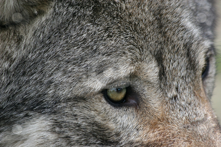 Wolf eye stock photo, Close up of a wolves eye by Gea Strucks