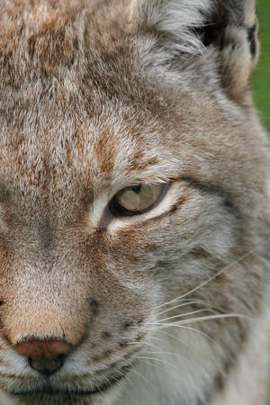 Lynx eye stock photo, Close up of a lynx yes by Gea Strucks