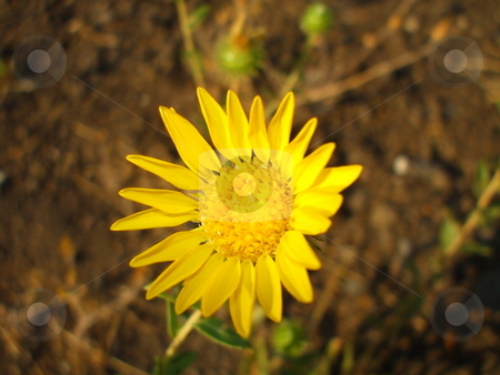 Yellow Daisy Flower stock photo,  by Michael Felix