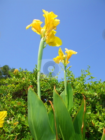 Canna Lily Flower stock photo,  by Michael Felix
