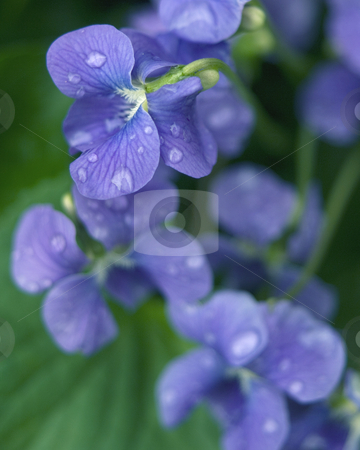 Blue flowers stock photo, Close up of blue flowers in the rain by Jonathan Hull