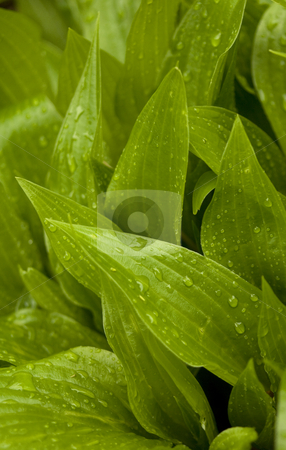 Hosta stock photo, Close up of a hosta in the rain by Jonathan Hull