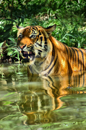 Tiger stock photo,  by Norazshahir Razali