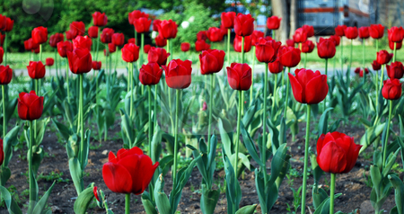 Red Tulips stock photo, Many brightly red colors of tulips covered by sun by Tudor Antonel adrian