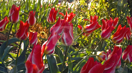 Flame Like Tulips stock photo, These stunning red and white tulips resemble a flame, for a dramatic floral photo. by Valerie Garner