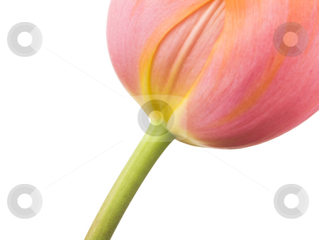 Peach Sorbet Spring Tulip stock photo, Peach Sorbet Spring Tulip on a white background by John Teeter