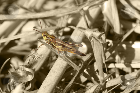 Grasshopper stock photo, Grasshopper on black and white by Chris Alleaume