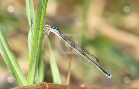 Blue Dragon Fly stock photo,  by Chris Alleaume