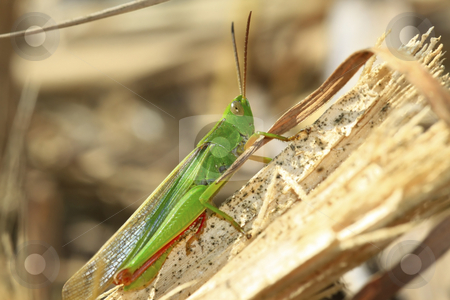 Green hopper stock photo, Green Grasshopper in the bush by Chris Alleaume