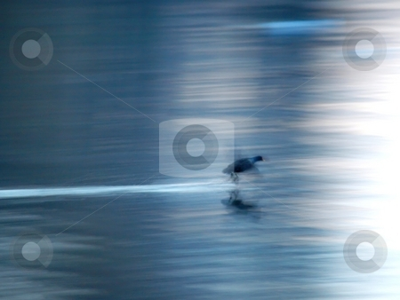 A duck landing on a lake in high speed stock photo, A duck landing on a lake in high speed creating motion blur. by Arve Bettum