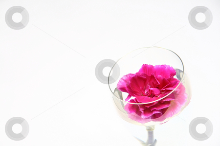 Carnation 7 stock photo,  by Tomo Photography