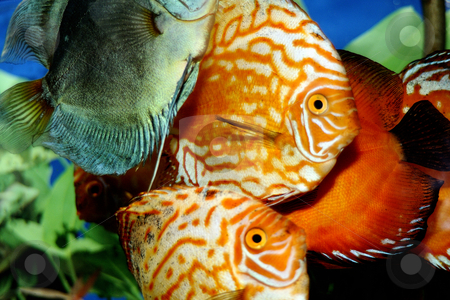 Fishes stock photo, Colored fishes in an aquarium by Dragos Iliescu