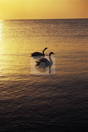 A swans couple stock photo, A swans couple sharing sunset moments by Dragos Iliescu