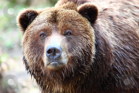 Brown grizzly bear stock photo, Close-up of brown bear by Tom P.