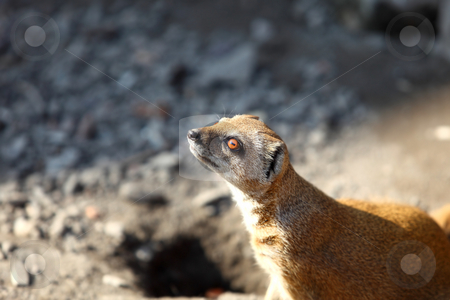 Cynictis Penicillata stock photo, Yellow mongoose outdoors by Tom P.