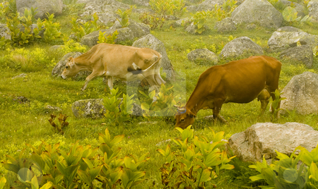 Cows stock photo, Cows in the Kachkar park at east Turkey by Kobby Dagan