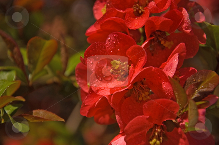 Bright Coral Flowering Quince stock photo, A brightly colored coral flowering quince shrub with it's beautiful blossoms is the focal point of this macro shot. by Valerie Garner