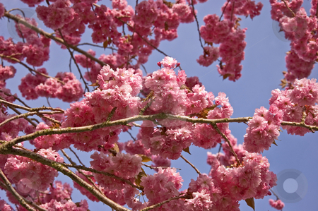 Pink Explosion stock photo, A pink explosion of blooms on a tree against blue sky background. by Valerie Garner