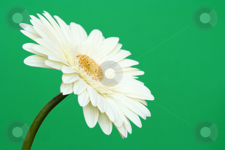 White Gerbera Daisy  on Green stock photo, Sideways view of a lovely fresh white gerbera daisy on a plain green background. by Helen Shorey