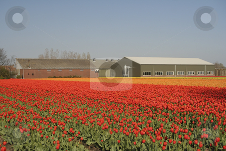 Tulip field with a barn stock photo, A field of red and orange tulips in a farm. by SuiPhoto