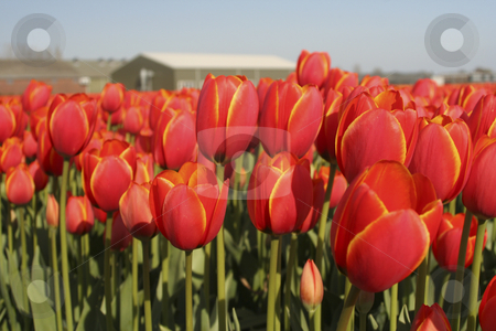 Red tulip field stock photo, Red tulips in close-up view with a barn in the background. by SuiPhoto