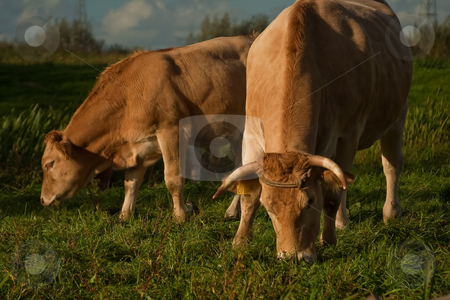 Two cows stock photo, Two cows in a grass field. by SuiPhoto