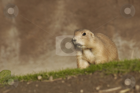 A Prairie Dog Hunting stock photo, A prairie dog is on hunting. by SuiPhoto