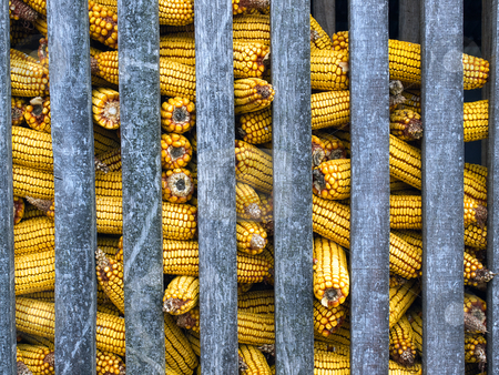 Corn stock photo, Front view of the corn in the warehouse by Sinisa Botas