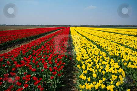 Fields of tulips stock photo, Fields covered with tulips in yellow and red for bulb harvest by Karin Claus