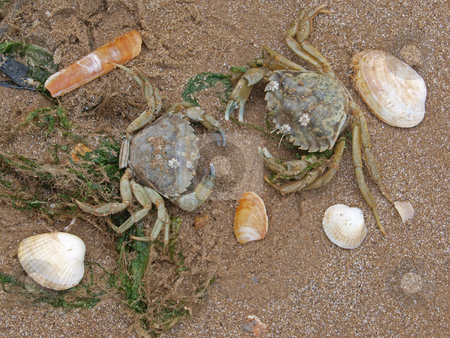Two crabs on a beach stock photo, Two crabs  on the high tide line. by Ian Langley