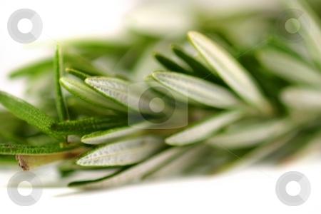 Rosemary stock photo, Fresh green herb rosemary on white background. by Henrik Lehnerer