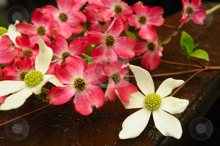 Dogwood (Cornus sessilis)  Flower stock photo, Pink and white California Dogwood flowers on a wooden deck railing after a spring rain. by Lynn Bendickson