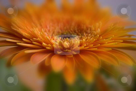 Gerbera close-up stock photo, Orange gerbera close up blured by Desislava Dimitrova